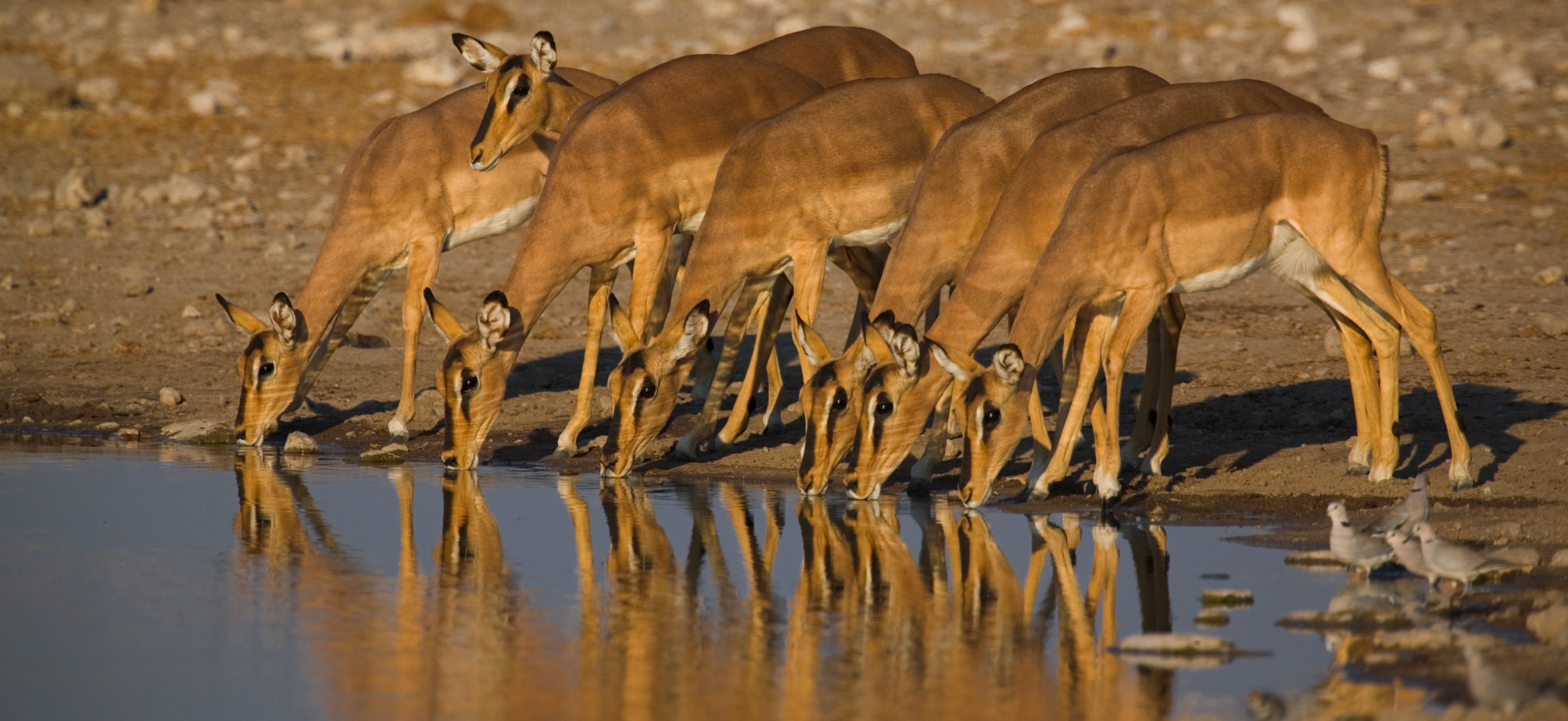 gazellák