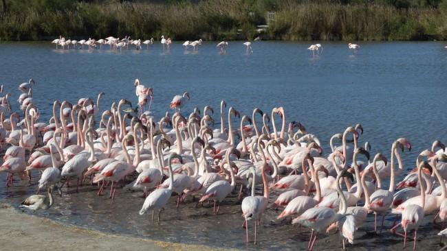 flamingos-2979916_960_720